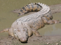 grebnistiy_krokodil_01