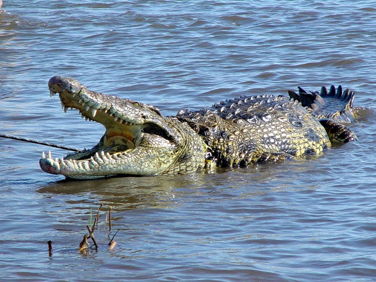 Вам нужно пересечь широкую реку которая кишит крокодилами. как вы это сделаете