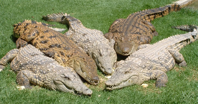 охота крокодилов