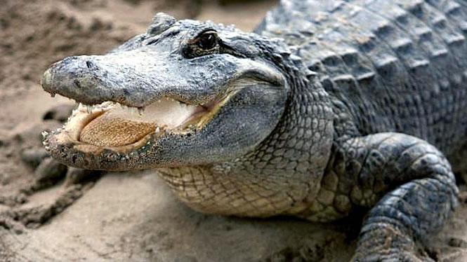 нападения аллигаторов во флориде