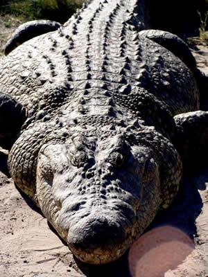 Крокодил людоед Густав