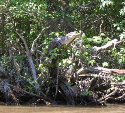 tree-gator