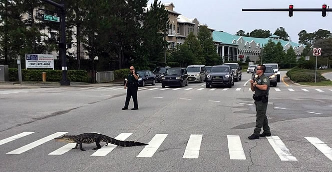 аллигатор переходит дорогу по зебре