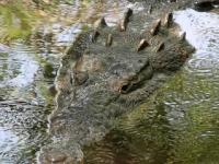 grebnistiy_krokodil_03