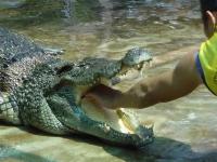 grebnistiy_krokodil_05