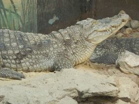 nile_crocodile_01
