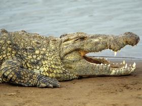 nile_crocodile_02