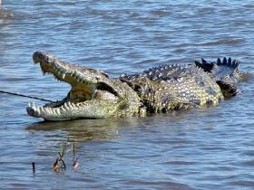 nile_crocodile_05