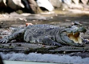 Останки пропавшего мальчика нашли в желудке крокодила