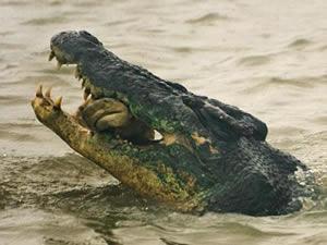 Крокодилы опасней акул