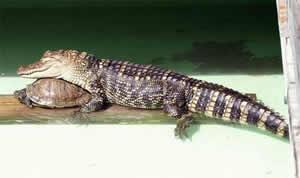 Карликовый крокодил