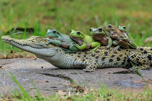 5-jab-na-krokodile