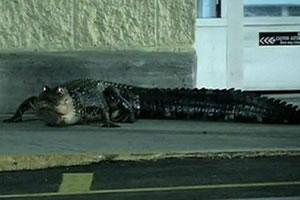 голодный аллигатор