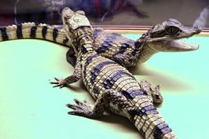 Крокодилы в Краснодаре