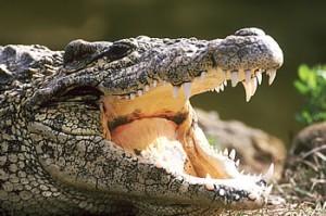 челюсти крокодила