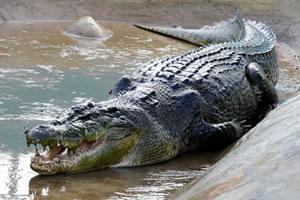 крокодил лолонг