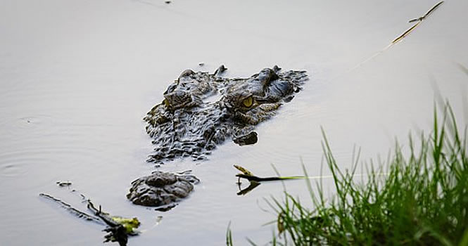 nile-croc-florida