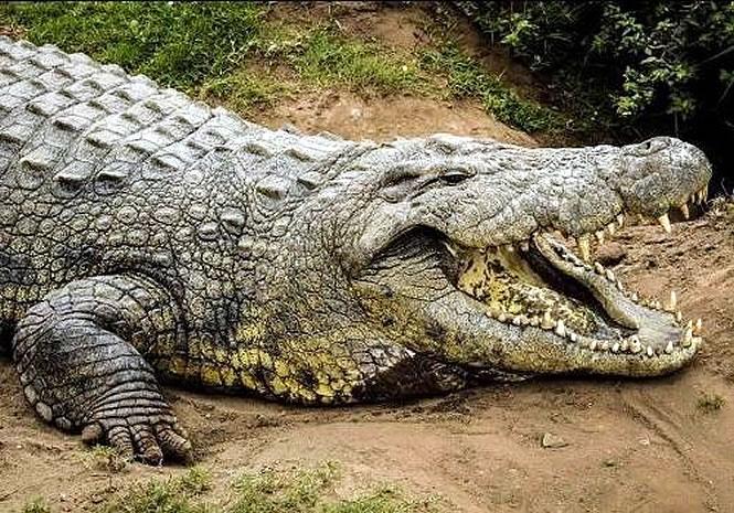 самый старый крокодил